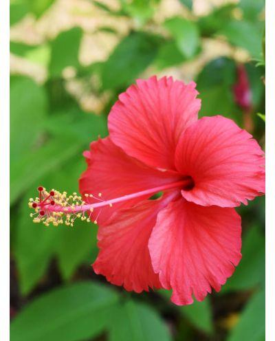 Hibiskusblüten Bio geschnitten